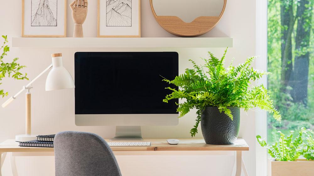 Helechos en oficinas.  plantas de sombra