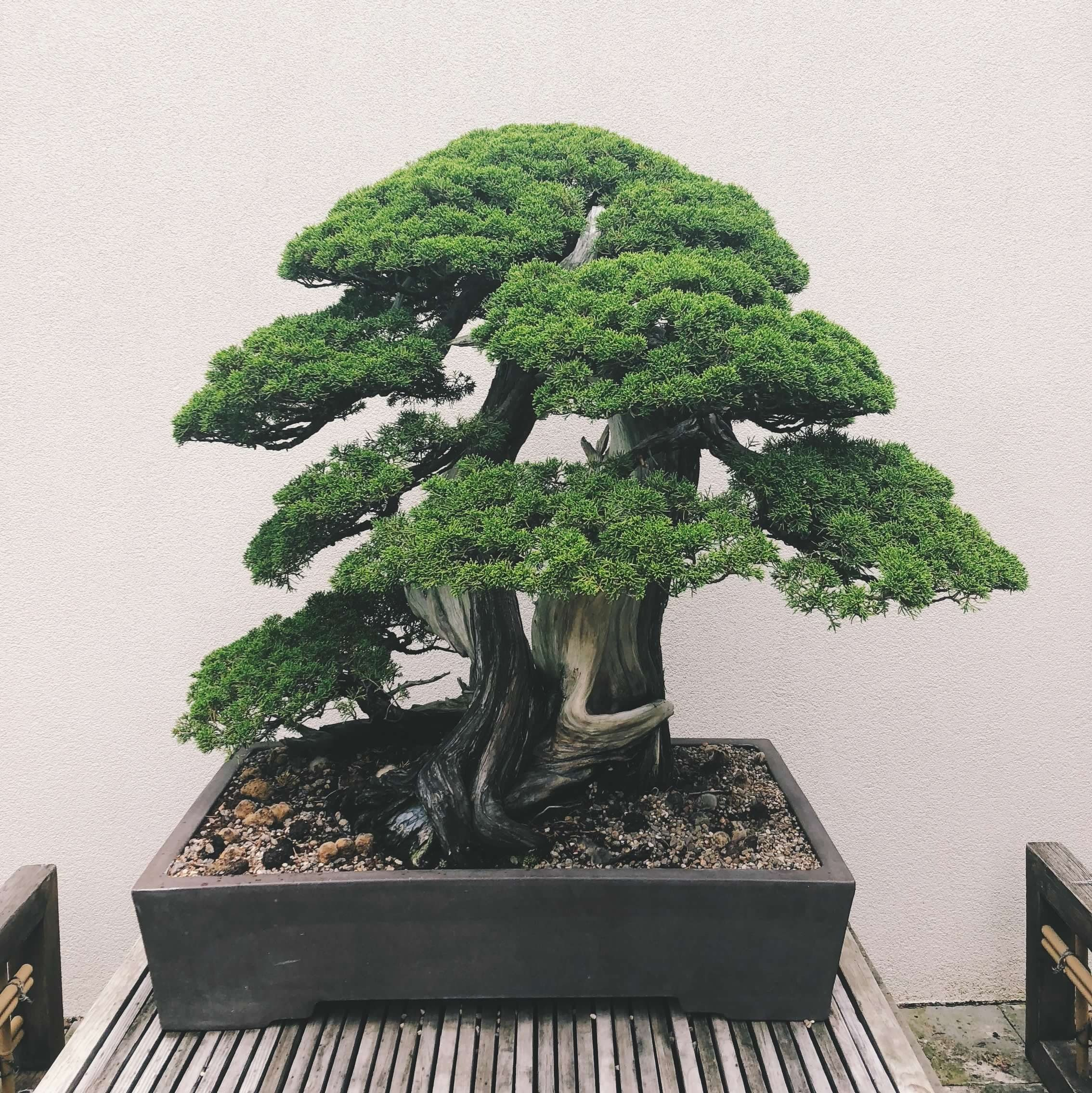 BONSAI EN OFICINAS