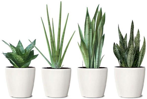 Plantas de serpientes en oficinas